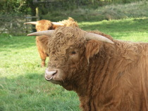 A young Highland bull