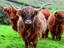 A group of our Highland Cattle